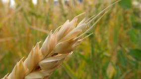 Campo do trigo maduro em Alemanha video estoque