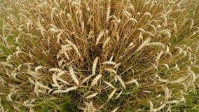 Campo do trigo maduro em Alemanha filme