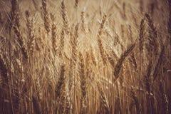 Campo do trigo maduro Grões macro da espiga da foto Imagens de Stock Royalty Free