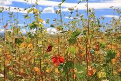 Campo do trigo mourisco contra o céu azul foto de stock royalty free