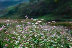 Campo do trigo mourisco das flores em Ha Giang, Vietname Foto de Stock