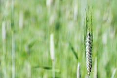 Campo do trigo novo Imagens de Stock Royalty Free