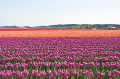 Campo do Tulip Imagem de Stock Royalty Free