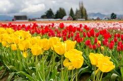 Campo do Tulip. Imagem de Stock Royalty Free