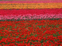 Campo do Tulip Fotos de Stock Royalty Free