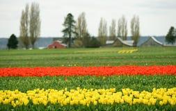 Campo do Tulip Foto de Stock Royalty Free
