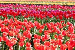 Campo do Tulip imagens de stock royalty free