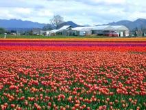 Campo do Tulip foto de stock