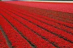 Campo do Tulip Imagem de Stock Royalty Free