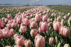 Campo do Tulip com gotas da água Imagem de Stock Royalty Free