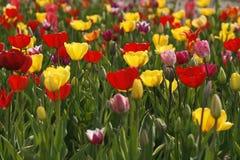 Campo do Tulip em Alemanha imagens de stock