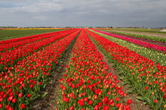 Campo do Tulip em Holland Fotos de Stock Royalty Free