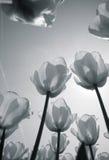 Campo do Tulip em holland imagem de stock royalty free
