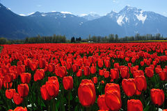 Campo do Tulip na mola Foto de Stock Royalty Free