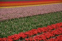 Campo do Tulip na mola Fotos de Stock Royalty Free