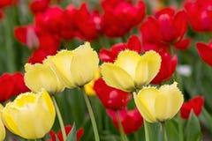 Campo do Tulip na mola crescimento fresco tulipas amarelas e vermelhas Foto de Stock