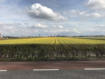 Campo do Tulip nos Países Baixos Foto de Stock Royalty Free