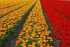 Campo do Tulip perto de Lisse nos Países Baixos imagens de stock