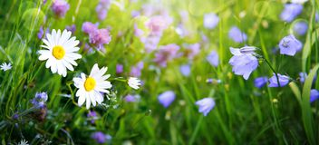 Campo do verão com margaridas brancas e flores da campânula fotografia de stock