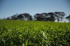 Campo do verde do céu azul Fotografia de Stock