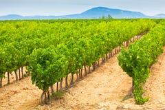 Campo do vinhedo em França do sul Imagens de Stock