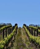 Campo do vinho na mola imagens de stock