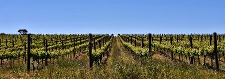 Campo do vinho na mola fotos de stock
