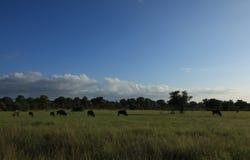Campo do Wildebeest azul foto de stock