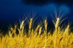 Campo dorato con il cielo drammatico Fotografie Stock Libere da Diritti