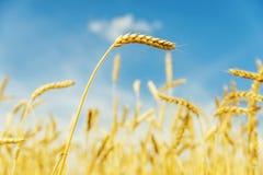 Campo dorato con il raccolto sul fondo del cielo blu Immagine Stock