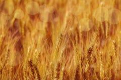 Campo dorato con le orecchie di grano, concetto moderno del raccolto del grano del cereale di agricoltura immagini stock