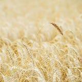 Campo dorato dei cereali maturi Un alto primo piano maturo alto del cereale del pieno fiore su un pomeriggio caldo di estate cont Fotografia Stock