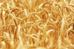 Campo dorato dei granuli Fotografia Stock