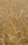 Campo dorato dei raccolti Fotografia Stock