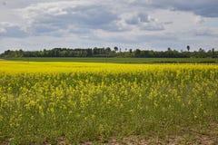 Campo dorato del seme di ravizzone di fioritura con cielo blu - brassica napus - pianta per energia ed industria petrolifera verd Fotografie Stock Libere da Diritti