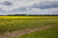 Campo dorato del seme di ravizzone di fioritura con cielo blu - brassica napus - pianta per energia ed industria petrolifera verd Fotografia Stock