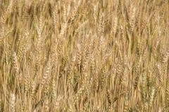 Campo dorato dell'erbaccia della campagna dell'Argentina. Immagine Stock