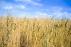 Campo dorato dell'erbaccia della campagna dell'Argentina. Fotografie Stock