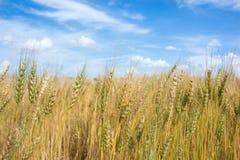 Campo dorato dell'erbaccia della campagna dell'Argentina. Fotografia Stock