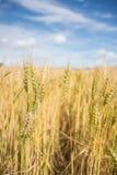 Campo dorato dell'erbaccia della campagna dell'Argentina. Bokeh. Immagini Stock Libere da Diritti