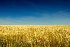 Campo dorato dell'orzo prima del raccolto di estate calda Fotografie Stock