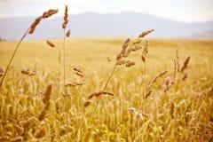 Campo dorato di agricoltura delle paglie di cereale Fotografia Stock Libera da Diritti