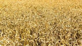 Campo dorato di grano maturo Immagine Stock Libera da Diritti