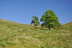 Campo: dos árboles y ovejas entre las colinas Fotografía de archivo