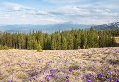 Campo dos açafrões com as montanhas no fundo Imagem de Stock Royalty Free