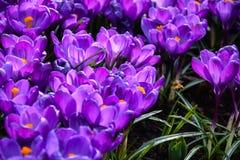 Campo dos açafrões no jardim de Keukenhof Fotos de Stock Royalty Free