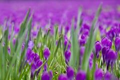Campo dos açafrões que florescem na mola Imagem de Stock