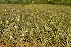 Campo dos abacaxis Fotografia de Stock