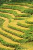 Campo dos arrozes em Vietname Fotos de Stock Royalty Free
