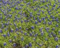 Campo dos Bluebonnets Fotos de Stock
